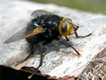 Tachinaire corpulente (Tachina grossa)